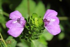 Flor salvaje púrpura y blanca Imagen de archivo