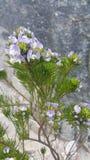 Flor salvaje púrpura y blanca Imagen de archivo libre de regalías