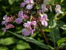 Flor salvaje, polen y abejas Imagen de archivo