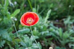 Flor salvaje roja de la amapola Fotografía de archivo