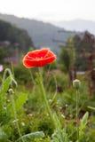 Flor salvaje roja de la amapola Fotos de archivo libres de regalías