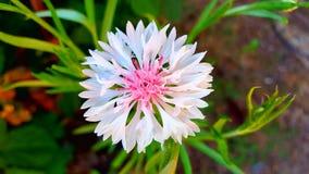 Flor salvaje rosada Imagen de archivo libre de regalías