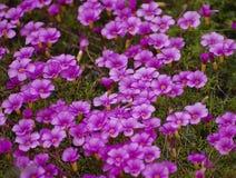 Flor salvaje rosada Fotos de archivo libres de regalías