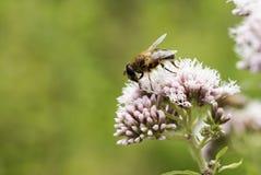 Flor salvaje rosada con el insecto de la abeja Fotografía de archivo libre de regalías