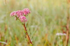 Flor salvaje rosada, consistiendo en muchas inflorescencias en el fondo de un prado verde fotografía de archivo