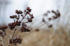 Flor salvaje seca de Autum en el prado imagen de archivo