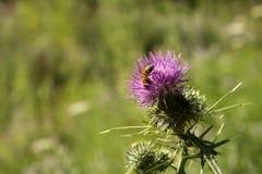 Flor salvaje y abeja Imagen de archivo libre de regalías