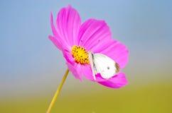 Flor santa del galsang fotos de archivo