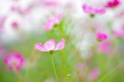 Flor santa del galsang imagen de archivo