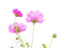 Flor santa del galsang foto de archivo libre de regalías