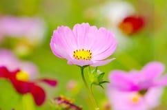 Flor santa del galsang imagenes de archivo