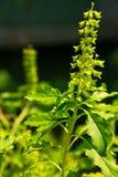 Flor santamente da manjericão na natureza Imagem de Stock