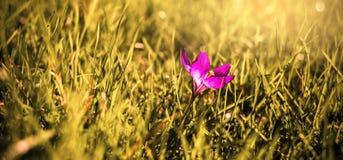 Flor sativus do açafrão Imagem de Stock