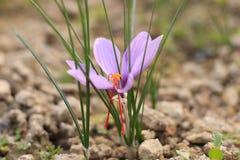 Flor sativus do açafrão no jardim Foto de Stock