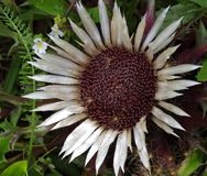 Flor seca Imagens de Stock