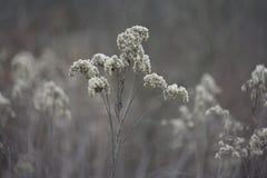 Flor seca Imagem de Stock Royalty Free
