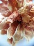 Flor seca Foto de Stock