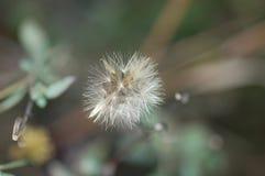 Flor seca Imagens de Stock Royalty Free