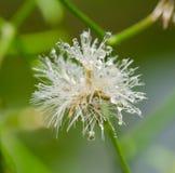 Flor seca com gotas da água Imagens de Stock