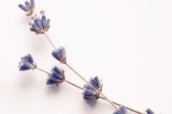 Flor seca da alfazema fotografia de stock royalty free