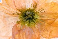 Flor seca de la amapola imagen de archivo libre de regalías