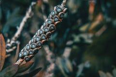 Flor seca del pallidus del callistemon Fotos de archivo libres de regalías