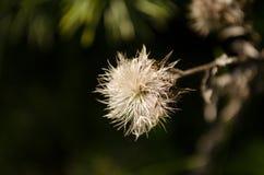 Flor seca do cardo no prado Fotografia de Stock