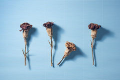 Flor seca en azul Fotos de archivo