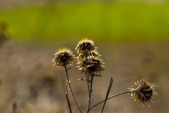 Flor seca en el campo, fondo borroso Imagen de archivo libre de regalías