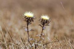 Flor seca en el campo, fondo borroso Imagenes de archivo