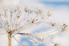 Flor seca en helada Fotografía de archivo libre de regalías