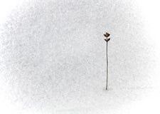 Flor seca en nieve Fotos de archivo libres de regalías