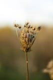 Flor seca no parque natural de Vacaresti, Bucareste, Romênia Fotografia de Stock