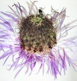 Flor seca presionada de la centaurea Imágenes de archivo libres de regalías
