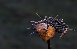 Flor secada con los cristales de hielo Fotos de archivo libres de regalías