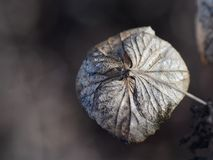 Flor secada de la hortensia en macro Fotos de archivo