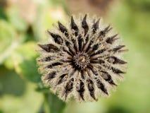 Flor secada de la malva del país fotos de archivo