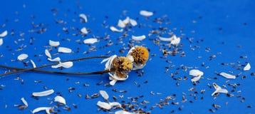 Flor secada de la manzanilla Imagen de archivo libre de regalías