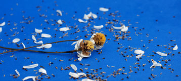 Flor secada de la manzanilla Foto de archivo libre de regalías