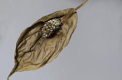 Flor secada de Spathiphyllum Fotografía de archivo libre de regalías