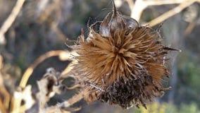 Flor secada de TX imagens de stock