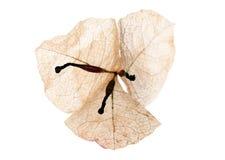 Flor secada del bougainvillea Fotos de archivo libres de regalías
