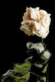 Flor secada en fondo imágenes de archivo libres de regalías