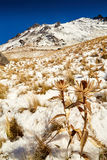 Flor secada Xinantecatl de Nevado de toluca Imagenes de archivo