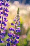 Flor selvagem Fotografia de Stock Royalty Free