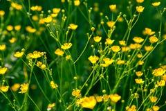 Flor selvagem Imagens de Stock Royalty Free