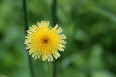 A flor selvagem imagens de stock