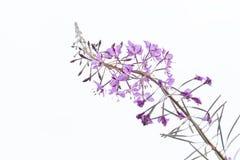 Flor selvagem Fotos de Stock Royalty Free