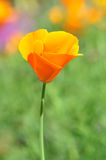 Flor selvagem alaranjada Fotografia de Stock Royalty Free