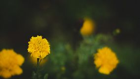 Flor selvagem amarela Imagem de Stock Royalty Free